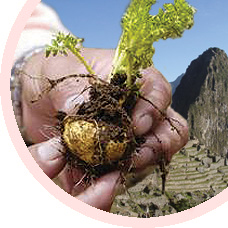 Organic Maca Peruvian